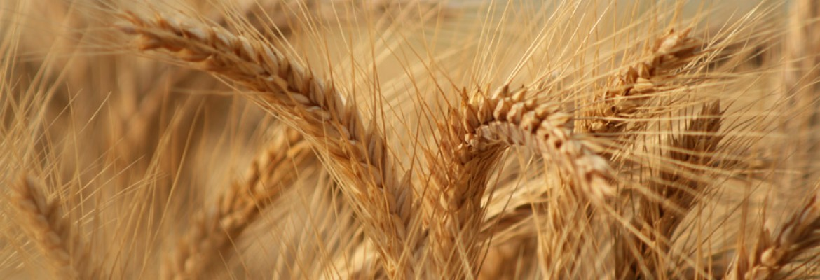 Cereal – Wheat