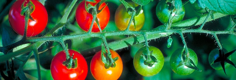 Hortícola – Tomato